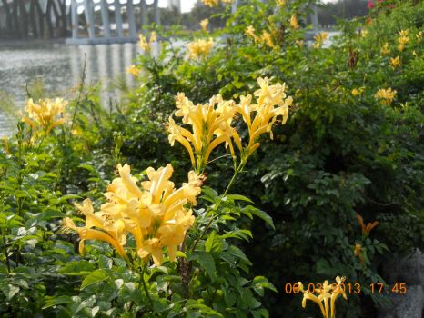 Pretty yellow flowers growing alongside the Singapore River