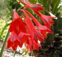 CLINANTHUS VARIEGATUS...RARE FLOWER FROM PERU...