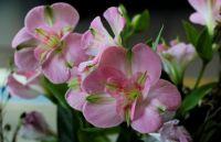 alstromeria pink
