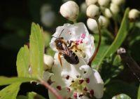 Orange-legged Furrow Bee (roodpootgroefbij)