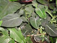 Syngonium wendlandii