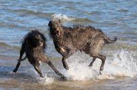 Deerhounds Playing