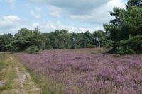 A walk on the heath / wandeling over de heide bij Haaksbergen