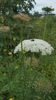 queen Anne's lace in field of plants