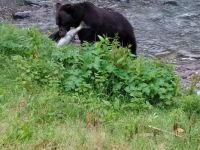 A grizzly bear eating salmon in Hyder, Alaska