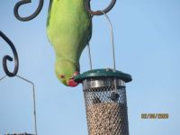 Parakeet looking for another way to the food