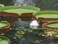 Enormous Lily Pads in Brazil