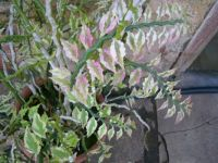 Exotic plant - Pedilanthus