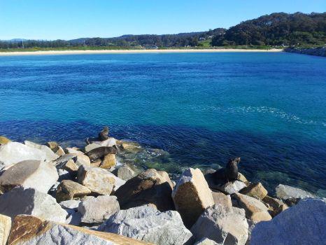 Seals at Narooma, New South Wales