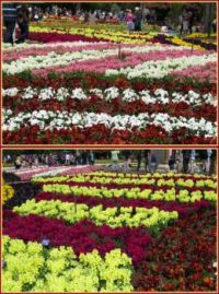Stocks and Pansies....Carnival of Flowers, Toowoomba....