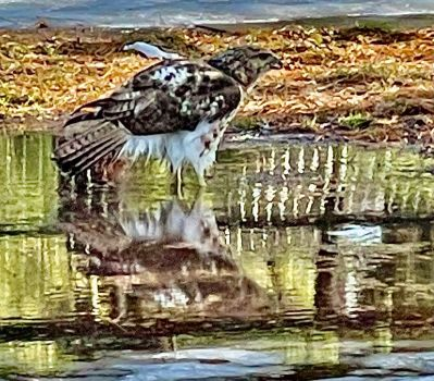 Red Tail Hawk taking a bath in melted snow. Central Park, NYC