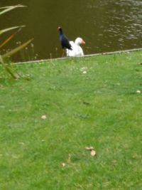 Pukeko and White Goose