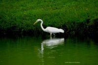Beenos Egret