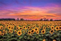 Sunflower Field-Duke Farms
