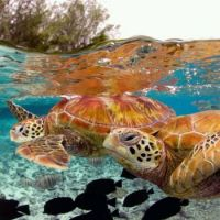 TURTLES IN BORA BORA