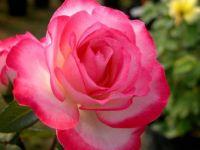 Pink Variegated Rose