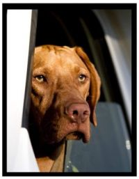 Tavi, Vizsla dog   2009 -2020  -   in the RV
