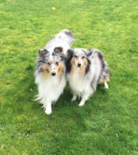 sheltie guests)