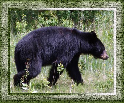 Black Bear - Alaska - in our campground