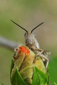 Another Grasshopper eating the Hibiscus buds!!
