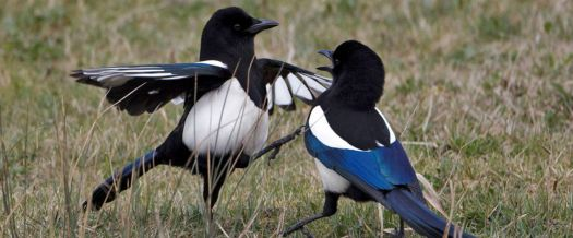 Magpies - UK