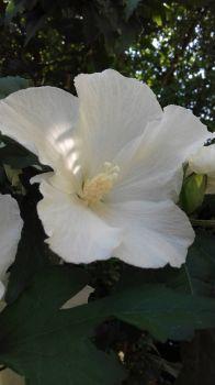 IBISCO BIANCO (WHITE HIBISCUS)