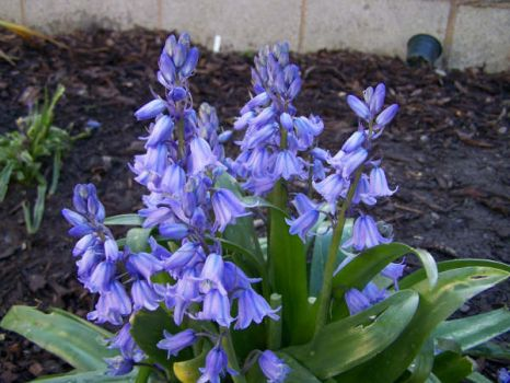 The beautiful Bluebell