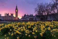 london daffodils