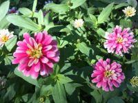 the enduring cheerfulness of zinnias