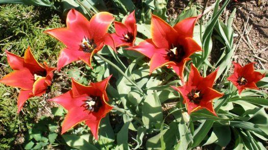 My favourite tulips