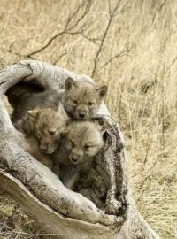 Three adorable baby wolves!
