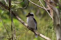 Mr. Kookaburra in my garden