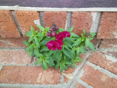 1-8-13 Snapdragon Blooming on our steps
