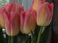 Tulpen uit de polder