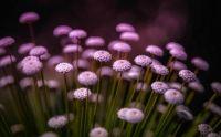 macro-pink-flowers-bokeh-many