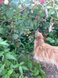Izzy picking raspberries