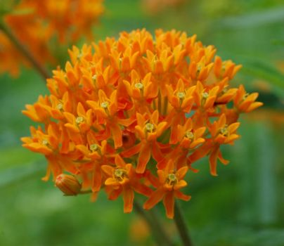 Butterfly weed is a perennial.