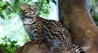 Ocelot in Wilderness Preserve