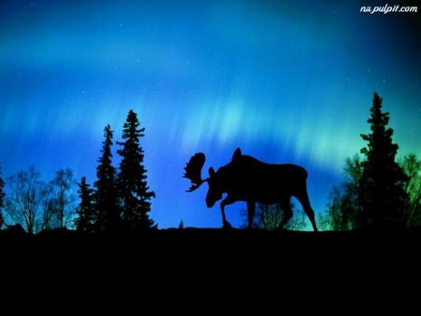 aurora borealis canada with moose