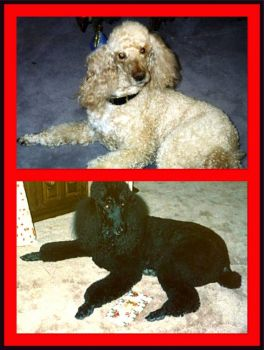 Two Poodles Who Have Shared My Life!
