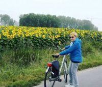 Zonnebloemvelden in Knokke-Heist