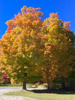 Fall maple at Green Lakes