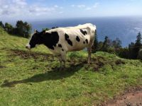 Bull in the Azores