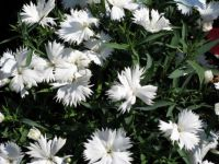 carnations_