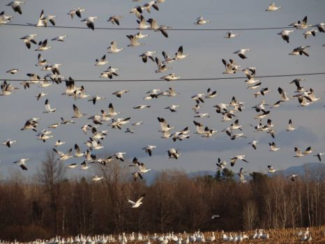 masses of Snow Geese