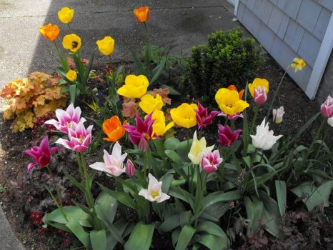 So many different tulips
