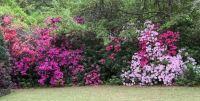 April azaleas