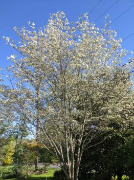 Mom's dogwood tree