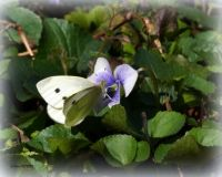 CABBAGE WHITE ON VIOLET