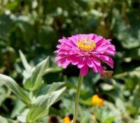 Pink Zinnia, in a Butterfly garden . .